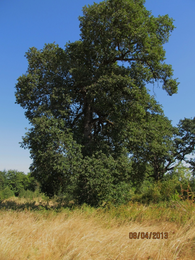 Oregon white oak from the Hackleman grove in Albany, Oregon